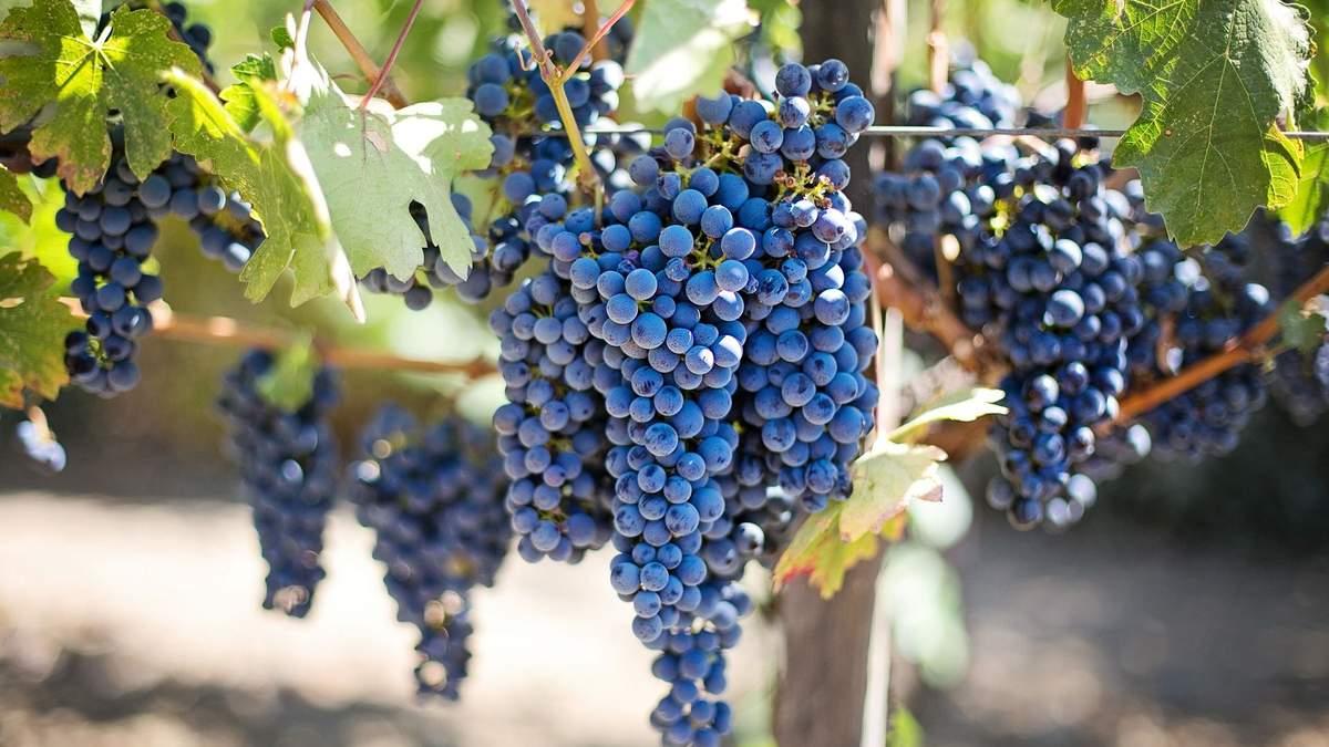 Как производят вино: подготовка винограда