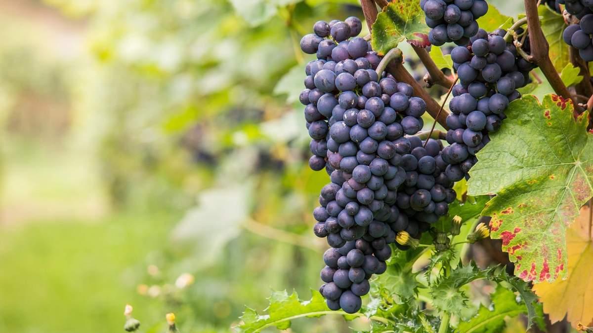 Вкус и аромат вина зависит от многих факторов