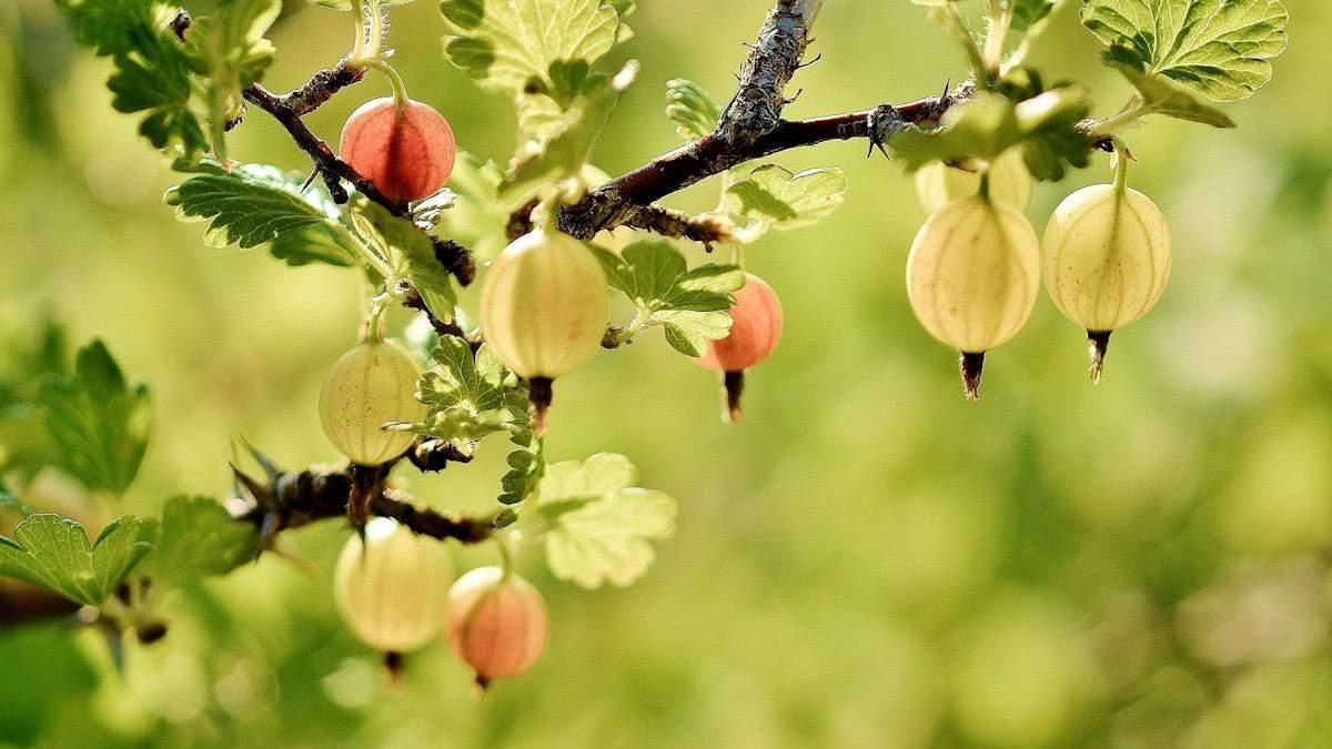 Крыжовник в вине: список вин с терпковатым, немного цветочный ароматом крыжовника