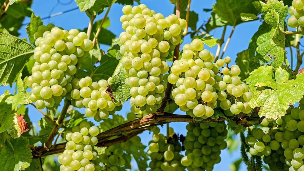 Клоны винограда – что это такое – объяснения от виноделов