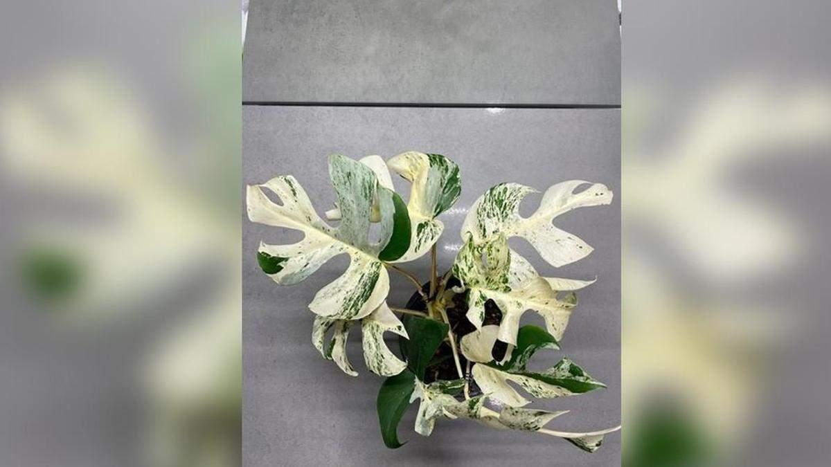 На аукционе продали комнатное растение за 19 тысяч долларов: как оно выглядит