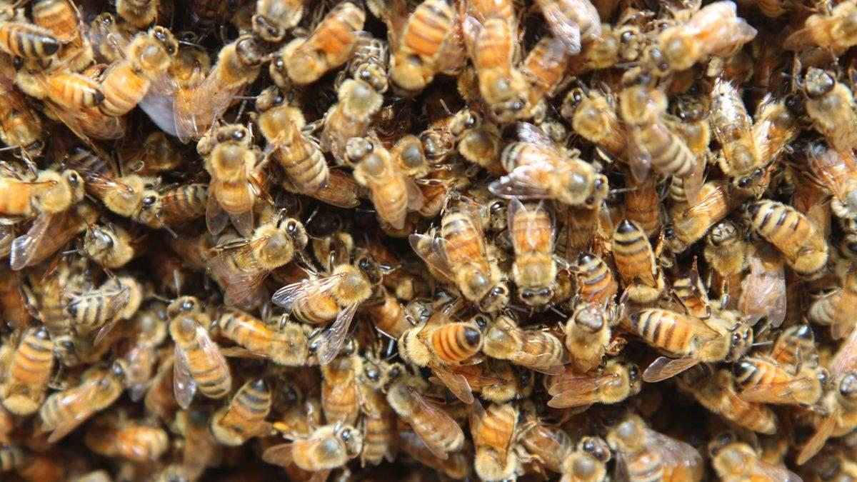 """Сім'я купила затишний будинок із """"сюрпризом"""": там знайшли 450 тисяч бджіл"""
