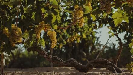 """Унікальний """"Лисячий хвіст"""": в SHABO розповіли про гордість українських виноробів"""