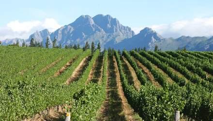Виноградники Південної Африки: неймовірні фото