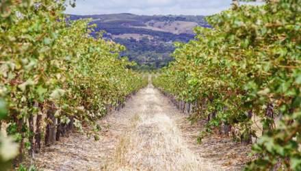 В Австралії склали карту виноградників за допомогою супутника та штучного інтелекту