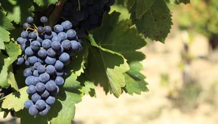 Каберне Фран: що потрібно знати про знаменитий сорт винограду